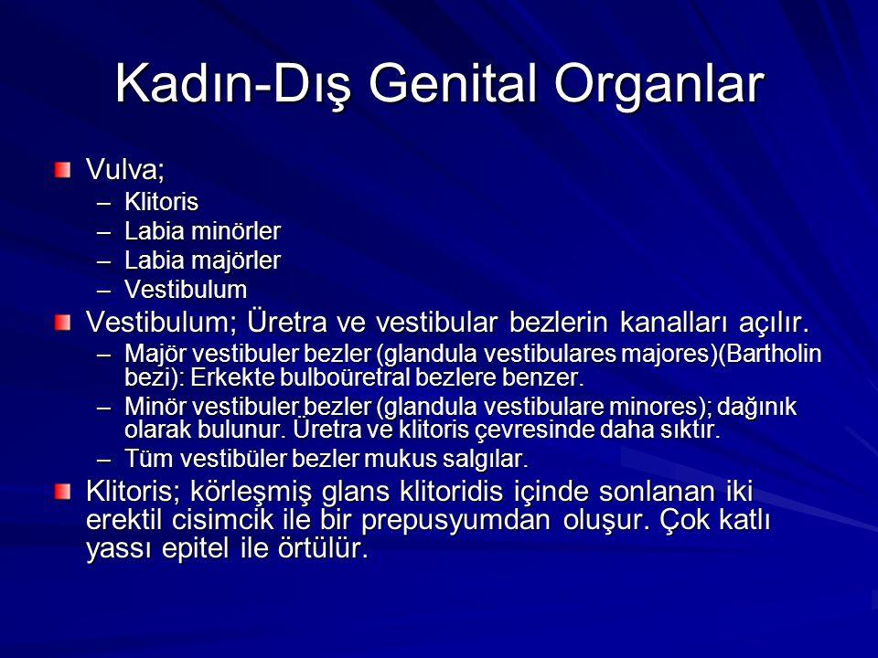 Kadın-Dış Genital Organlar Vulva; –Klitoris –Labia minörler –Labia majörler –Vestibulum Vestibulum; Üretra ve vestibular bezlerin kanalları açılır.