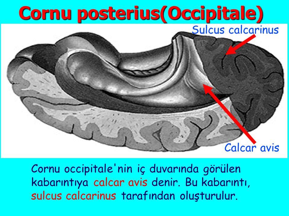 Cornu posterius(Occipitale) Cornu occipitale nin iç duvarında görülen kabarıntıya calcar avis denir.