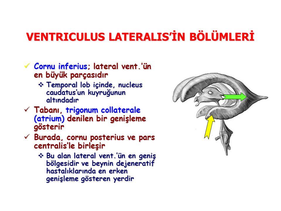 VENTRICULUS LATERALIS'İN BÖLÜMLERİ Cornu inferius; lateral vent.'ün en büyük parçasıdır Cornu inferius; lateral vent.'ün en büyük parçasıdır  Temporal lob içinde, nucleus caudatus'un kuyruğunun altındadır Tabanı, trigonum collaterale (atrium) denilen bir genişleme gösterir Tabanı, trigonum collaterale (atrium) denilen bir genişleme gösterir Burada, cornu posterius ve pars centralis'le birleşir Burada, cornu posterius ve pars centralis'le birleşir  Bu alan lateral vent.'ün en geniş bölgesidir ve beynin dejeneratif hastalıklarında en erken genişleme gösteren yerdir