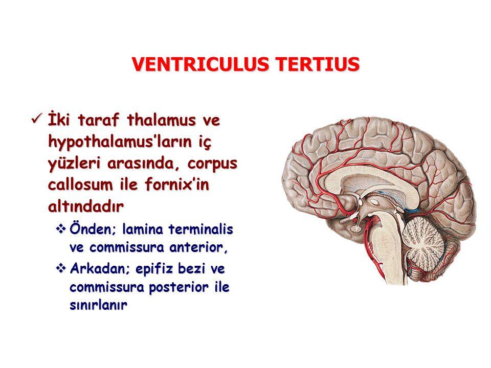 VENTRICULUS TERTIUS İki taraf thalamus ve hypothalamus'ların iç yüzleri arasında, corpus callosum ile fornix'in altındadır İki taraf thalamus ve hypothalamus'ların iç yüzleri arasında, corpus callosum ile fornix'in altındadır  Önden; lamina terminalis ve commissura anterior,  Arkadan; epifiz bezi ve commissura posterior ile sınırlanır