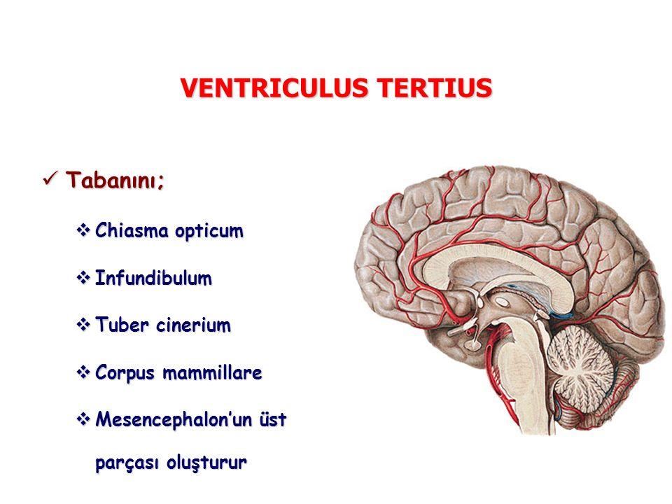 VENTRICULUS TERTIUS Tabanını; Tabanını;  Chiasma opticum  Infundibulum  Tuber cinerium  Corpus mammillare  Mesencephalon'un üst parçası oluşturur