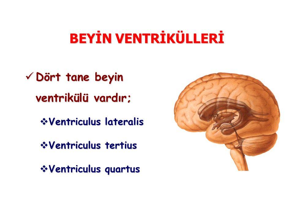 BEYİN VENTRİKÜLLERİ Dört tane beyin ventrikülü vardır; Dört tane beyin ventrikülü vardır;  Ventriculus lateralis  Ventriculus tertius  Ventriculus quartus