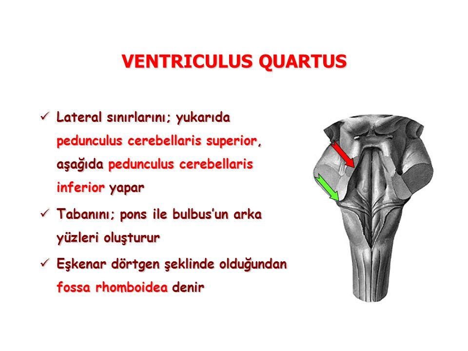 VENTRICULUS QUARTUS Lateral sınırlarını; yukarıda pedunculus cerebellaris superior, aşağıda pedunculus cerebellaris inferior yapar Lateral sınırlarını; yukarıda pedunculus cerebellaris superior, aşağıda pedunculus cerebellaris inferior yapar Tabanını; pons ile bulbus'un arka yüzleri oluşturur Tabanını; pons ile bulbus'un arka yüzleri oluşturur Eşkenar dörtgen şeklinde olduğundan fossa rhomboidea denir Eşkenar dörtgen şeklinde olduğundan fossa rhomboidea denir