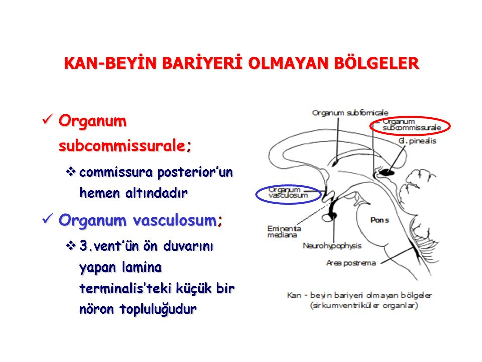 KAN-BEYİN BARİYERİ OLMAYAN BÖLGELER Organum subcommissurale; Organum subcommissurale;  commissura posterior'un hemen altındadır Organum vasculosum; Organum vasculosum;  3.vent'ün ön duvarını yapan lamina terminalis'teki küçük bir nöron topluluğudur