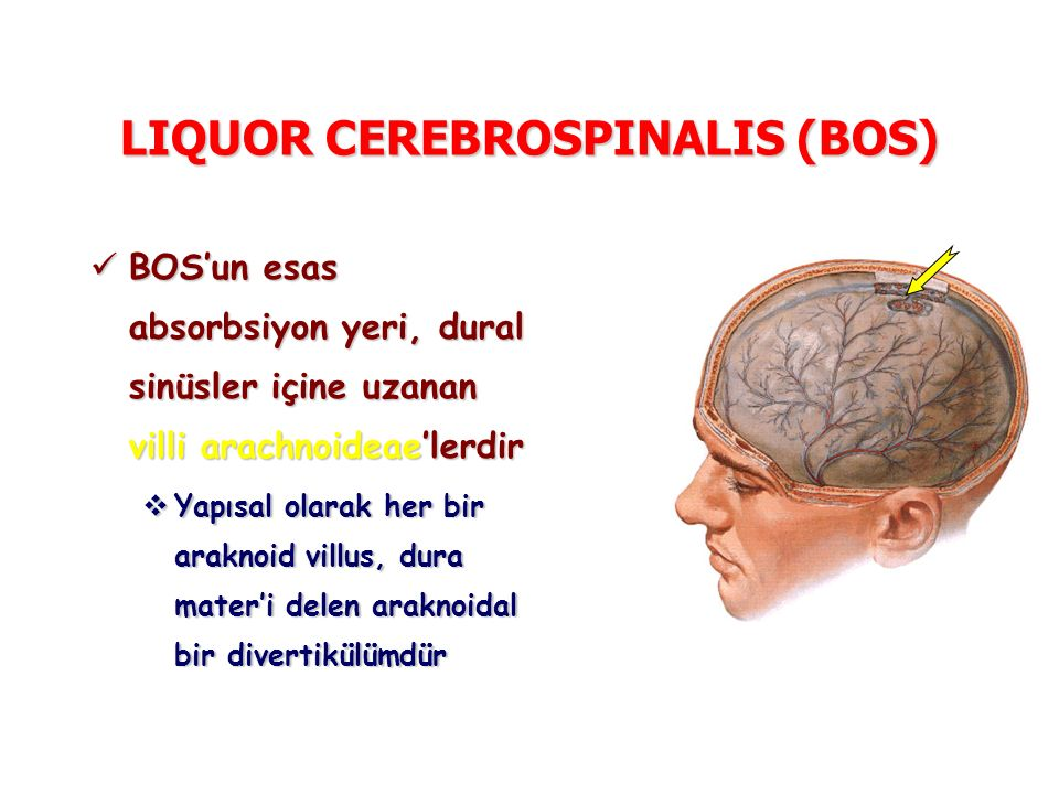 LIQUOR CEREBROSPINALIS (BOS) BOS'un esas absorbsiyon yeri, dural sinüsler içine uzanan villi arachnoideae'lerdir BOS'un esas absorbsiyon yeri, dural sinüsler içine uzanan villi arachnoideae'lerdir  Yapısal olarak her bir araknoid villus, dura mater'i delen araknoidal bir divertikülümdür