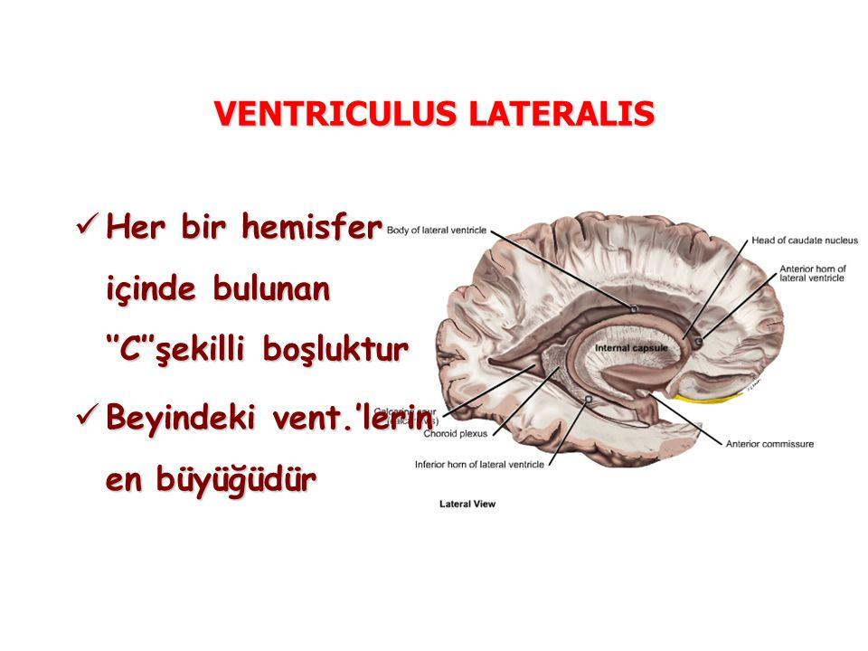 VENTRICULUS LATERALIS Her bir hemisfer içinde bulunan ''C''şekilli boşluktur Her bir hemisfer içinde bulunan ''C''şekilli boşluktur Beyindeki vent.'lerin en büyüğüdür Beyindeki vent.'lerin en büyüğüdür