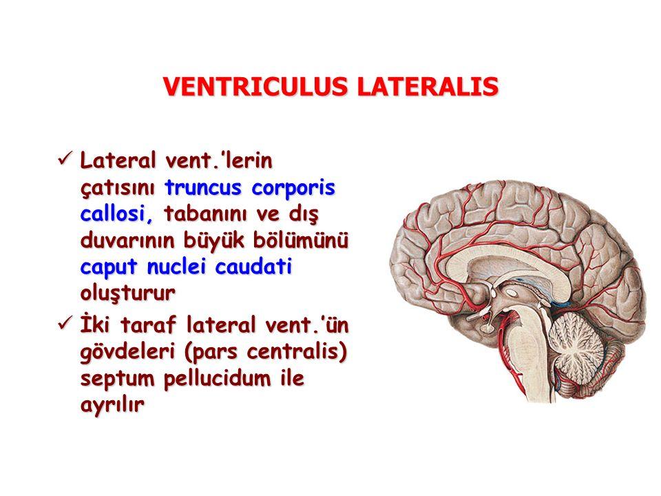 VENTRICULUS LATERALIS Lateral vent.'lerin çatısını truncus corporis callosi, tabanını ve dış duvarının büyük bölümünü caput nuclei caudati oluşturur Lateral vent.'lerin çatısını truncus corporis callosi, tabanını ve dış duvarının büyük bölümünü caput nuclei caudati oluşturur İki taraf lateral vent.'ün gövdeleri (pars centralis) septum pellucidum ile ayrılır İki taraf lateral vent.'ün gövdeleri (pars centralis) septum pellucidum ile ayrılır