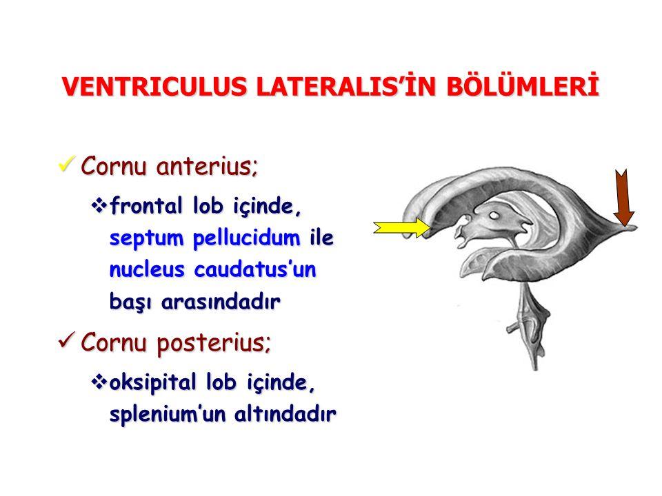 VENTRICULUS LATERALIS'İN BÖLÜMLERİ Cornu anterius; Cornu anterius;  frontal lob içinde, septum pellucidum ile nucleus caudatus'un başı arasındadır Co