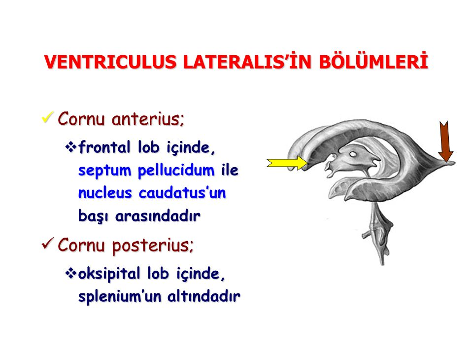 VENTRICULUS LATERALIS'İN BÖLÜMLERİ Cornu anterius; Cornu anterius;  frontal lob içinde, septum pellucidum ile nucleus caudatus'un başı arasındadır Cornu posterius; Cornu posterius;  oksipital lob içinde, splenium'un altındadır