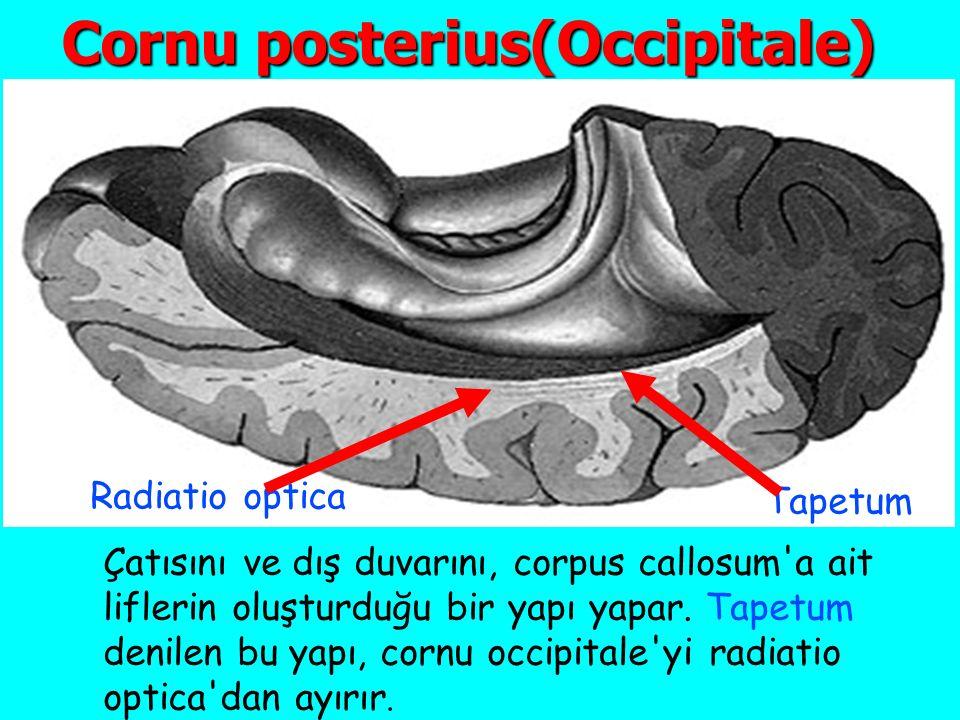 Cornu posterius(Occipitale) Çatısını ve dış duvarını, corpus callosum a ait liflerin oluşturduğu bir yapı yapar.