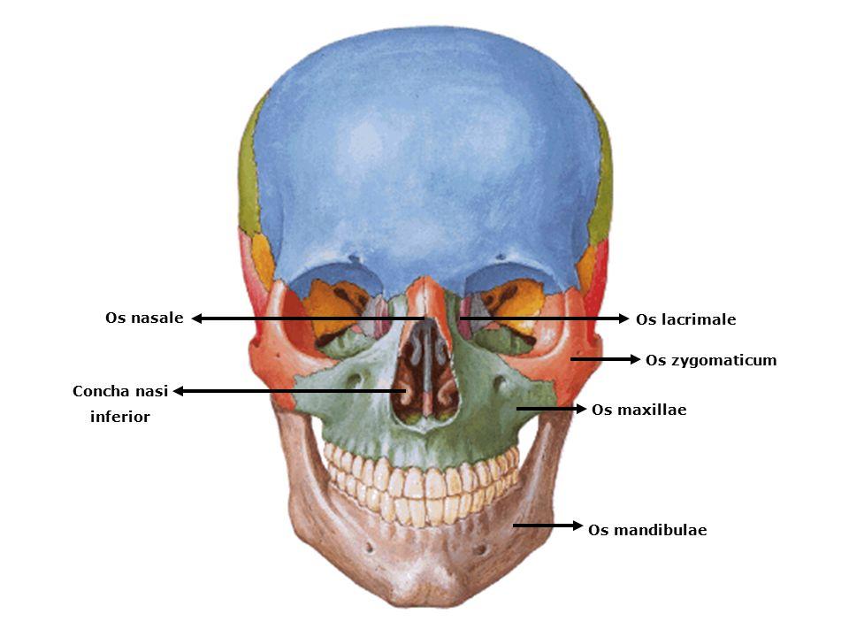 www.slaytyerim.com Os maxillae Os zygomaticum Os lacrimale Os nasale Concha nasi inferior Os mandibulae