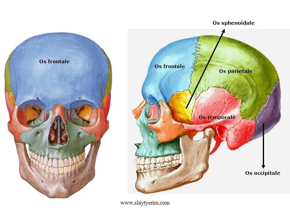 www.slaytyerim.com Os frontale Os parietale Os temporale Os occipitale Os sphenoidale