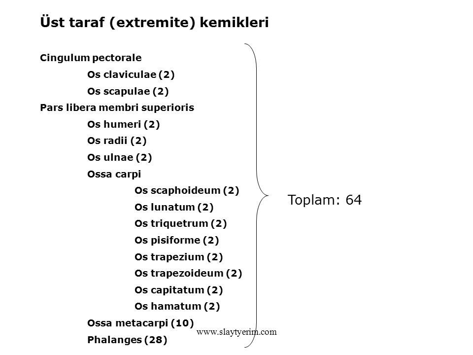www.slaytyerim.com Üst taraf (extremite) kemikleri Cingulum pectorale Os claviculae (2) Os scapulae (2) Pars libera membri superioris Os humeri (2) Os