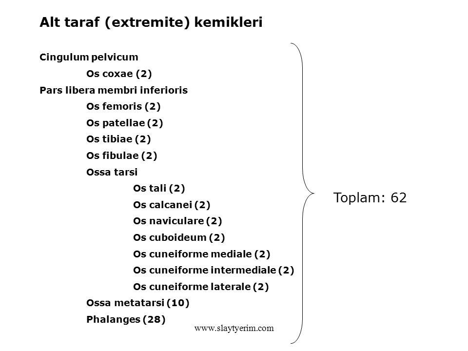 Alt taraf (extremite) kemikleri Cingulum pelvicum Os coxae (2) Pars libera membri inferioris Os femoris (2) Os patellae (2) Os tibiae (2) Os fibulae (2) Ossa tarsi Os tali (2) Os calcanei (2) Os naviculare (2) Os cuboideum (2) Os cuneiforme mediale (2) Os cuneiforme intermediale (2) Os cuneiforme laterale (2) Ossa metatarsi (10) Phalanges (28) Toplam: 62