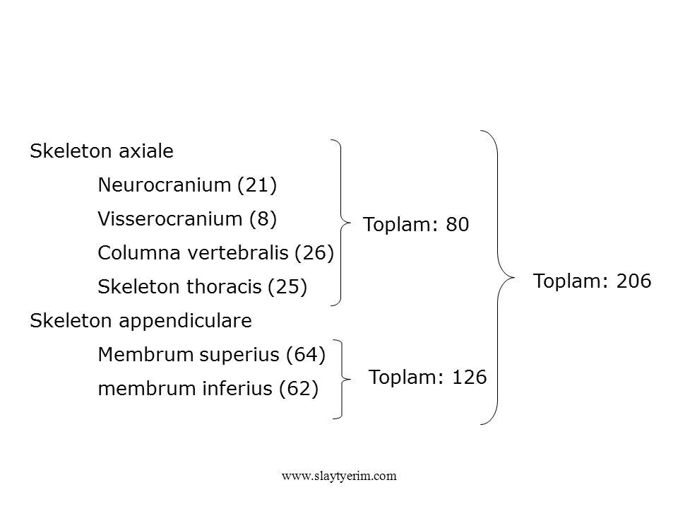 Skeleton axiale Neurocranium (21) Visserocranium (8) Columna vertebralis (26) Skeleton thoracis (25) Skeleton appendiculare Membrum superius (64) membrum inferius (62) Toplam: 206 Toplam: 126 Toplam: 80