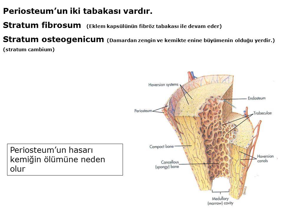 Periosteum'un iki tabakası vardır.