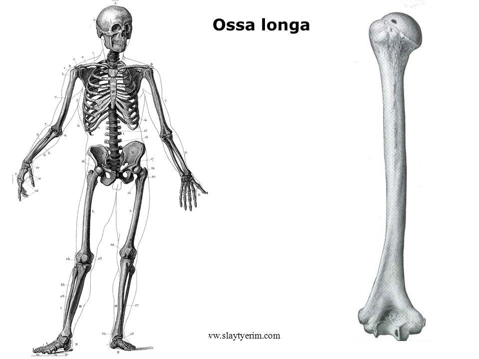 www.slaytyerim.com Ossa longa