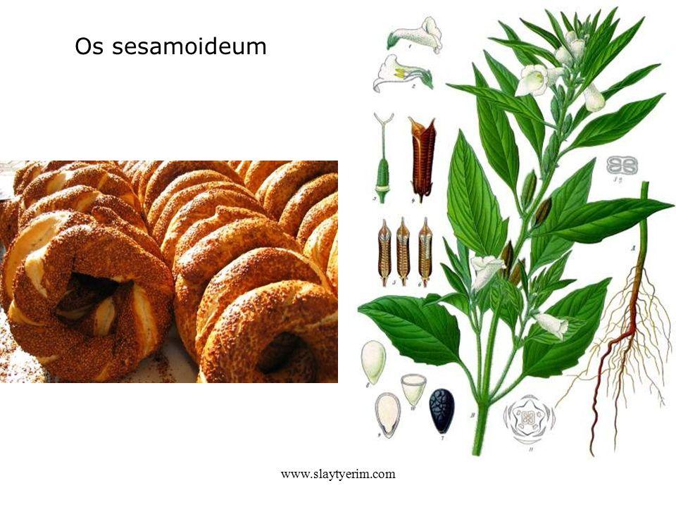 Os sesamoideum