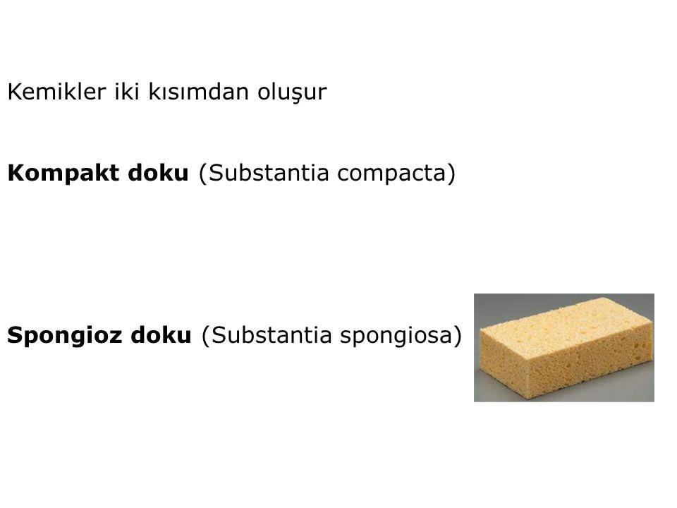 Kemikler iki kısımdan oluşur Kompakt doku (Substantia compacta) Spongioz doku (Substantia spongiosa)