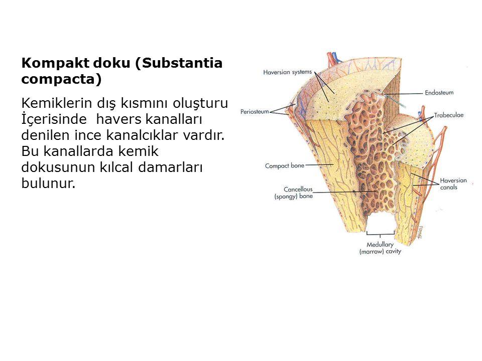 Kompakt doku (Substantia compacta) Kemiklerin dış kısmını oluşturur. İçerisinde havers kanalları denilen ince kanalcıklar vardır. Bu kanallarda kemik