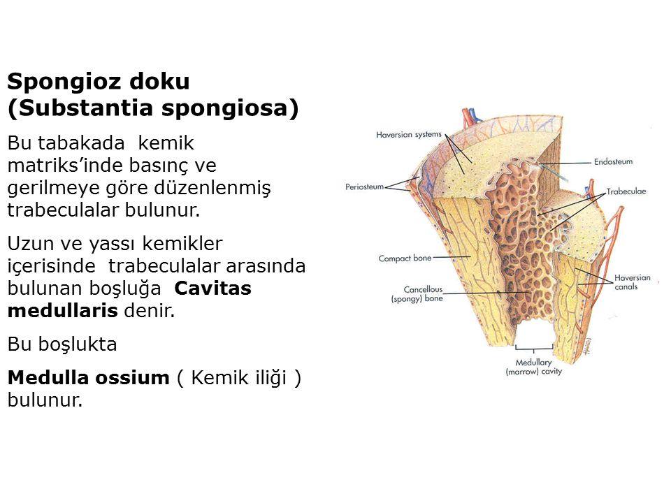 Spongioz doku (Substantia spongiosa) Bu tabakada kemik matriks'inde basınç ve gerilmeye göre düzenlenmiş trabeculalar bulunur.