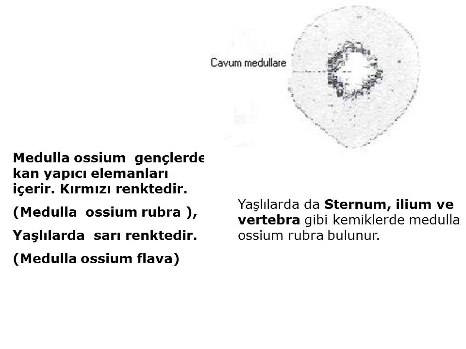Medulla ossium gençlerde kan yapıcı elemanları içerir.