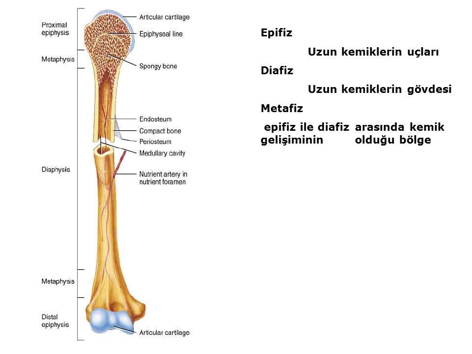 Epifiz Uzun kemiklerin uçları Diafiz Uzun kemiklerin gövdesi Metafiz epifiz ile diafiz arasında kemik gelişiminin olduğu bölge