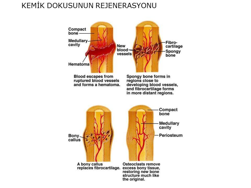www.slaytyerim.com KEMİK DOKUSUNUN REJENERASYONU