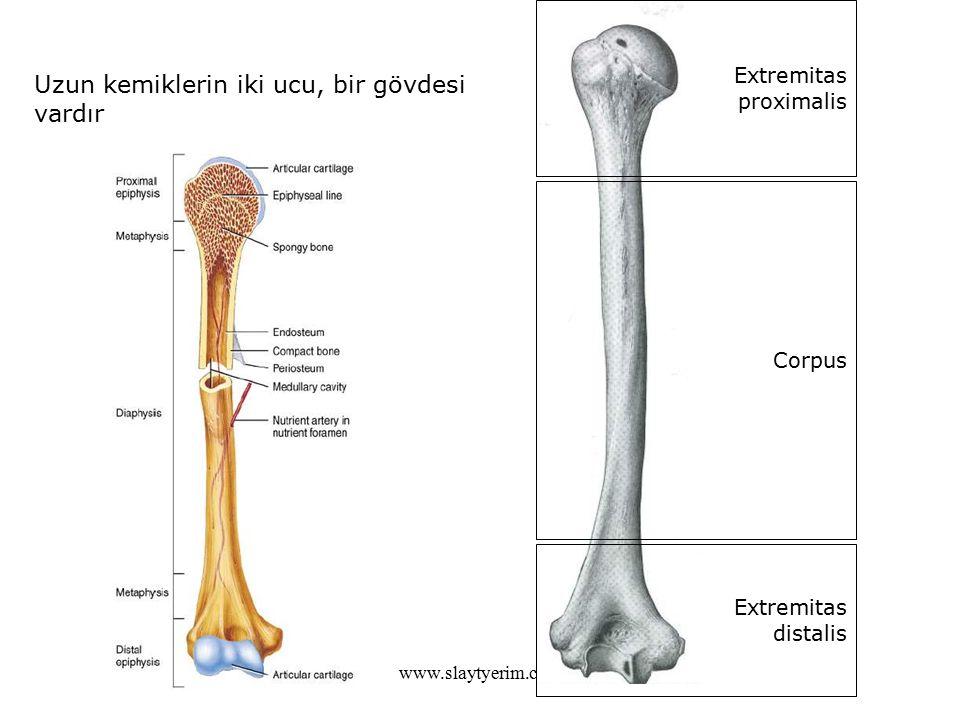 www.slaytyerim.com Uzun kemiklerin iki ucu, bir gövdesi vardır Extremitas proximalis Corpus Extremitas distalis
