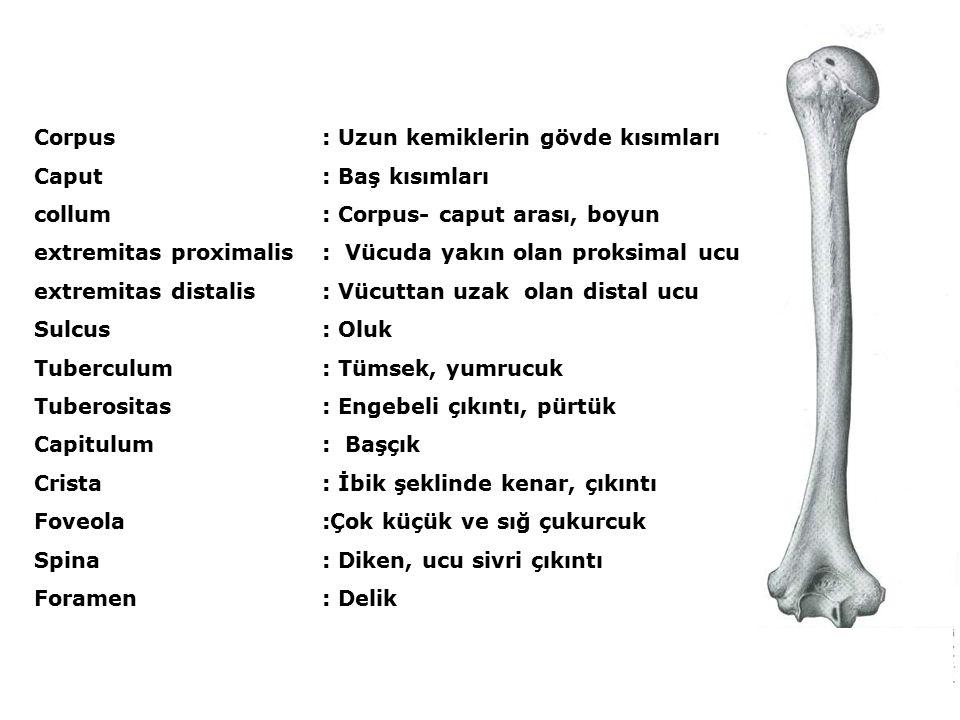 Corpus: Uzun kemiklerin gövde kısımları Caput: Baş kısımları collum : Corpus- caput arası, boyun extremitas proximalis: Vücuda yakın olan proksimal ucu extremitas distalis : Vücuttan uzak olan distal ucu Sulcus : Oluk Tuberculum: Tümsek, yumrucuk Tuberositas : Engebeli çıkıntı, pürtük Capitulum: Başçık Crista : İbik şeklinde kenar, çıkıntı Foveola :Çok küçük ve sığ çukurcuk Spina: Diken, ucu sivri çıkıntı Foramen : Delik