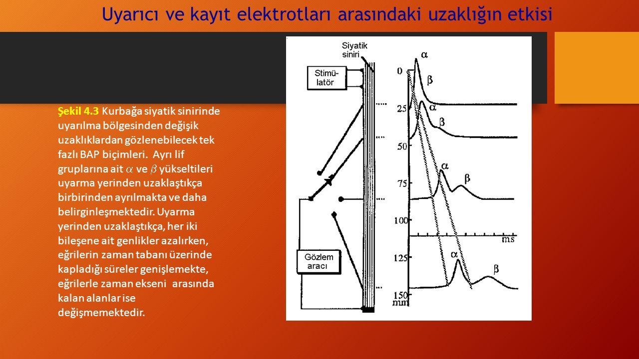 Uyarıcı ve kayıt elektrotları arasındaki uzaklığın etkisi Şekil 4.3 Kurbağa siyatik sinirinde uyarılma bölgesinden değişik uzaklıklardan gözlenebilecek tek fazlı BAP biçimleri.