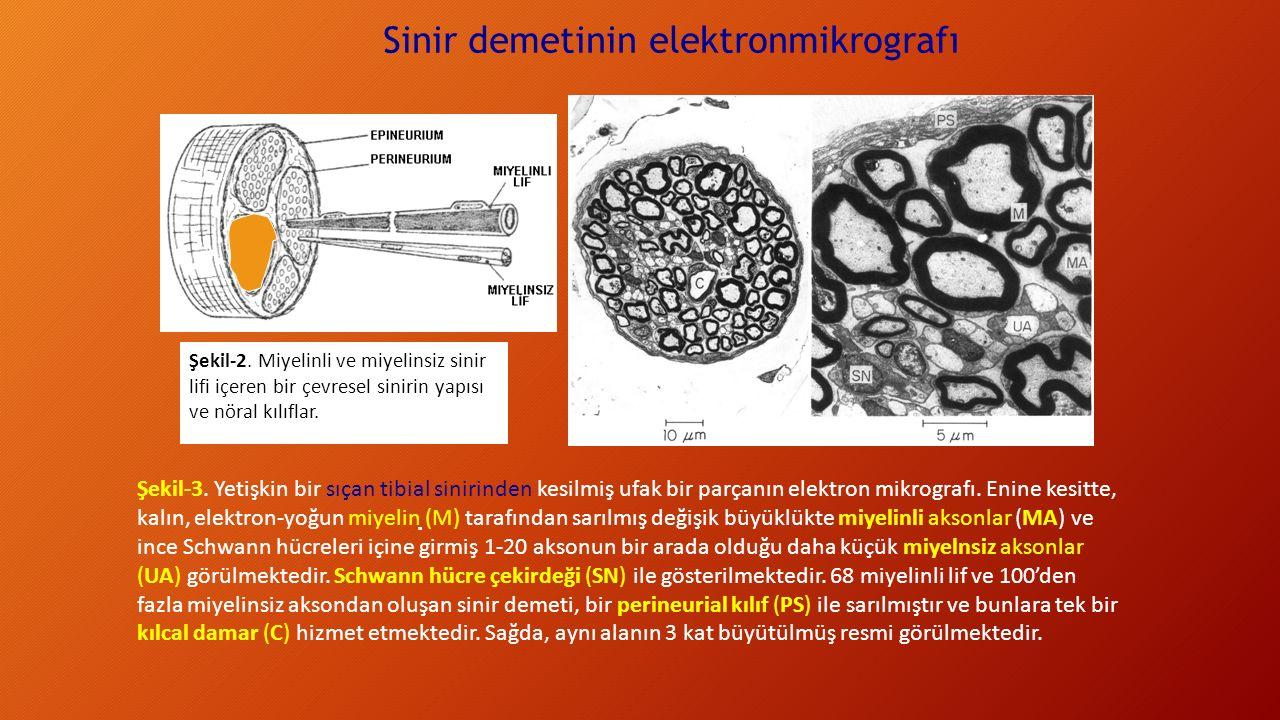 Şekil-3. Yetişkin bir sıçan tibial sinirinden kesilmiş ufak bir parçanın elektron mikrografı. Enine kesitte, kalın, elektron-yoğun miyelin (M) tarafın