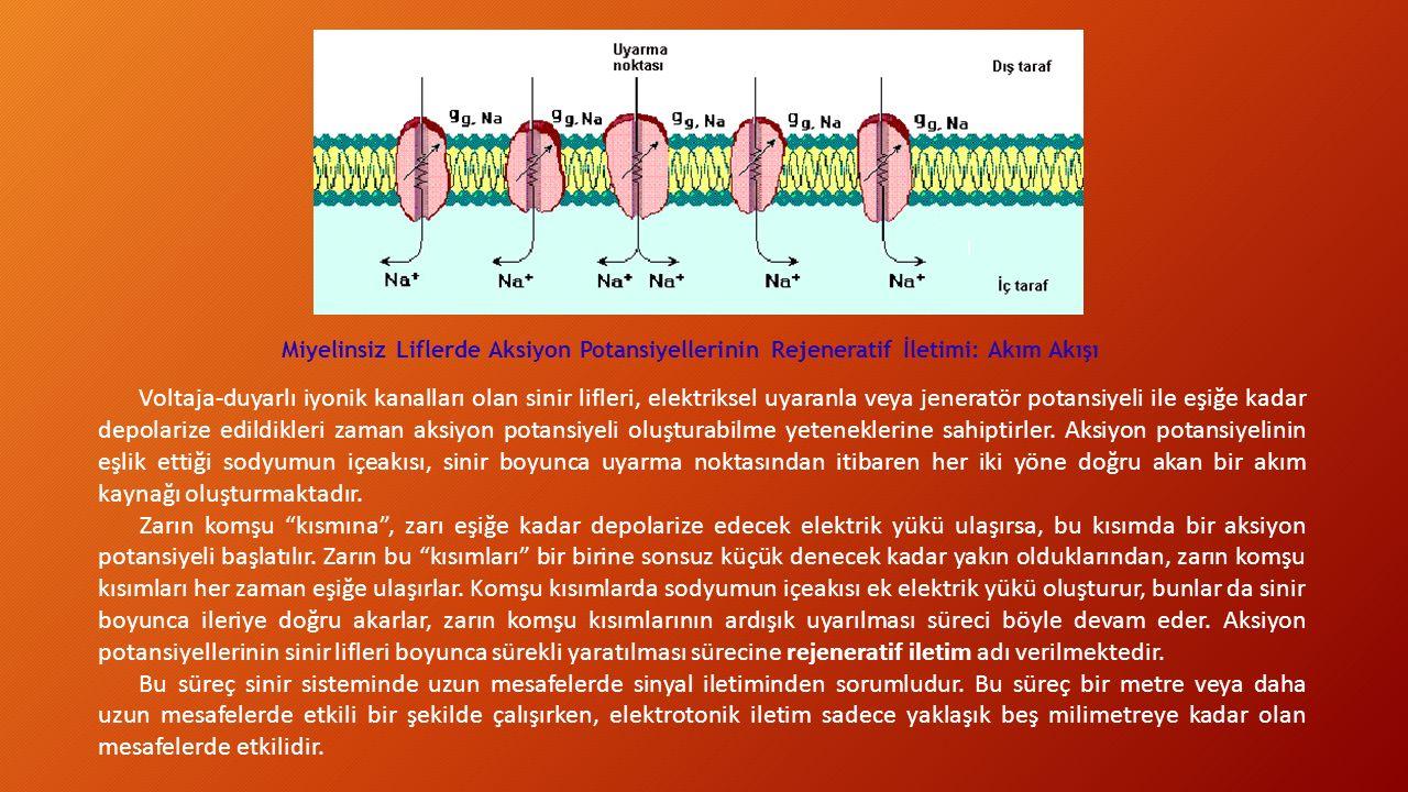 Miyelinsiz Liflerde Aksiyon Potansiyellerinin Rejeneratif İletimi: Akım Akışı Voltaja-duyarlı iyonik kanalları olan sinir lifleri, elektriksel uyaranla veya jeneratör potansiyeli ile eşiğe kadar depolarize edildikleri zaman aksiyon potansiyeli oluşturabilme yeteneklerine sahiptirler.