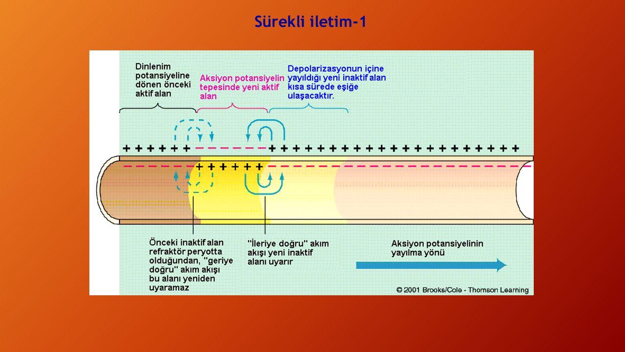 Elektrotonik İletim: Intrasellular Direnç Değişiminin Etkileri Sinir lifi boyunca uzak noktalara daha fazla elektrik yükünün ulaşmasına izin veren herhangi bir değişme ile uzay sabiti artar : Sinirin aksoplazmik direncinin azalması.
