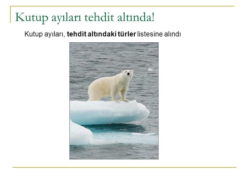 Kutup ayıları tehdit altında! Kutup ayıları, tehdit altındaki türler listesine alındı