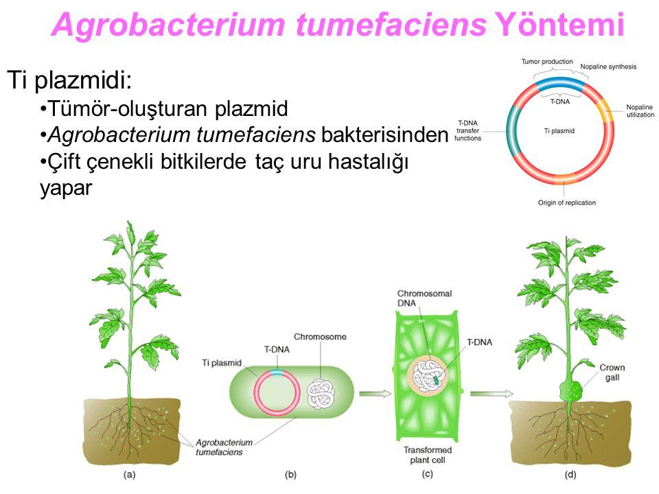 Ti plazmidi: Tümör-oluşturan plazmid Agrobacterium tumefaciens bakterisinden Çift çenekli bitkilerde taç uru hastalığı yapar Agrobacterium tumefaciens