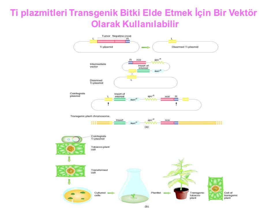 Ti plazmitleri Transgenik Bitki Elde Etmek İçin Bir Vektör Olarak Kullanılabilir