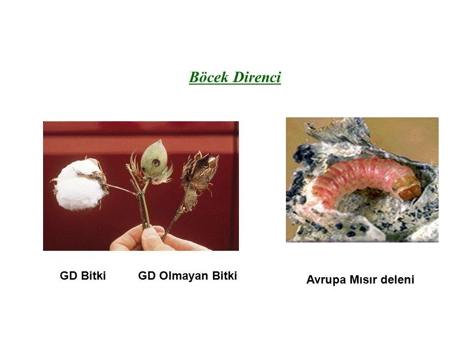 Böcek Direnci GD BitkiGD Olmayan Bitki Avrupa Mısır deleni