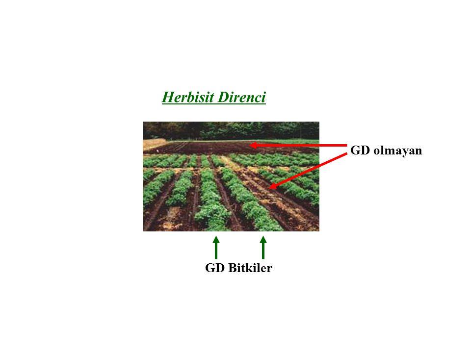 GD olmayan GD Bitkiler Herbisit Direnci