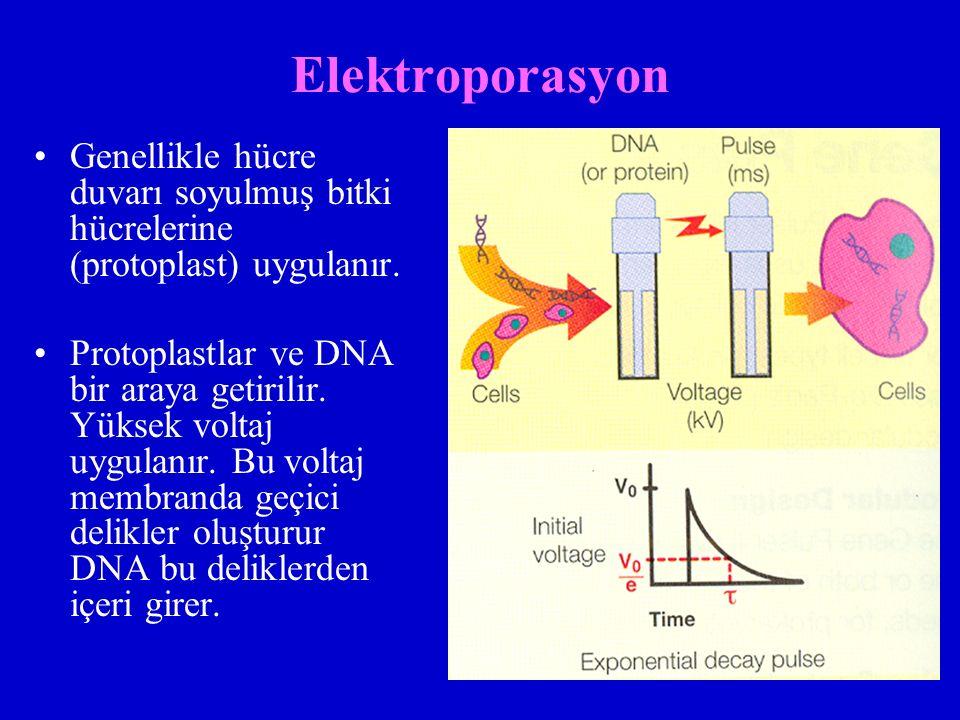 Elektroporasyon Genellikle hücre duvarı soyulmuş bitki hücrelerine (protoplast) uygulanır.