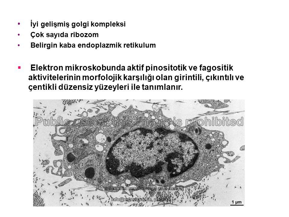 İyi gelişmiş golgi kompleksi Çok sayıda ribozom Belirgin kaba endoplazmik retikulum  Elektron mikroskobunda aktif pinositotik ve fagositik aktivitelerinin morfolojik karşılığı olan girintili, çıkıntılı ve çentikli düzensiz yüzeyleri ile tanımlanır.