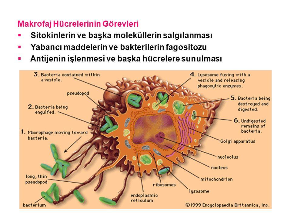 Makrofaj Hücrelerinin Görevleri  Sitokinlerin ve başka moleküllerin salgılanması  Yabancı maddelerin ve bakterilerin fagositozu  Antijenin işlenmesi ve başka hücrelere sunulması