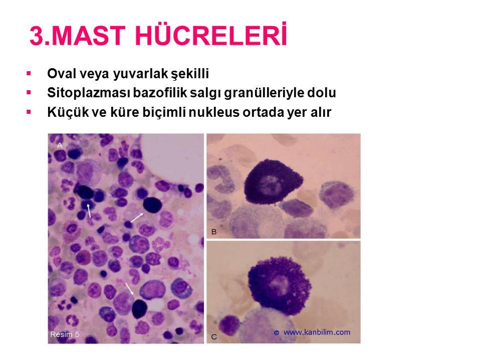3.MAST HÜCRELERİ  Oval veya yuvarlak şekilli  Sitoplazması bazofilik salgı granülleriyle dolu  Küçük ve küre biçimli nukleus ortada yer alır