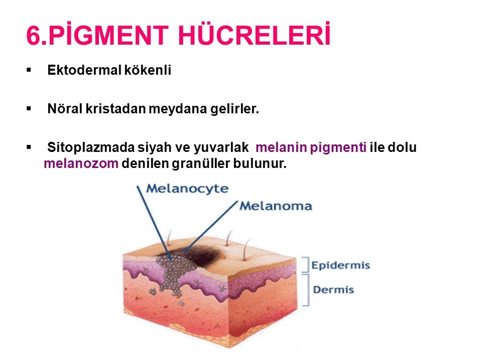 6.PİGMENT HÜCRELERİ  Ektodermal kökenli  Nöral kristadan meydana gelirler.  Sitoplazmada siyah ve yuvarlak melanin pigmenti ile dolu melanozom deni