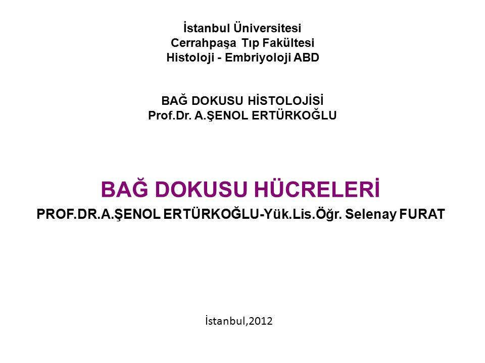 İstanbul Üniversitesi Cerrahpaşa Tıp Fakültesi Histoloji - Embriyoloji ABD BAĞ DOKUSU HİSTOLOJİSİ Prof.Dr. A.ŞENOL ERTÜRKOĞLU BAĞ DOKUSU HÜCRELERİ PRO