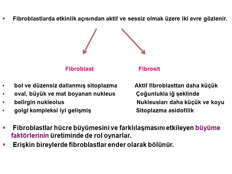  Fibroblastlarda etkinlik açısından aktif ve sessiz olmak üzere iki evre gözlenir. Fibroblast Fibrosit bol ve düzensiz dallanmış sitoplazma Aktif fib