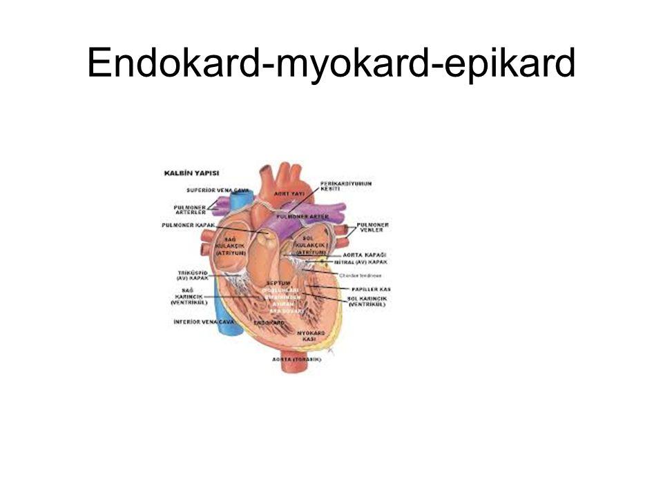 Endokard-myokard-epikard