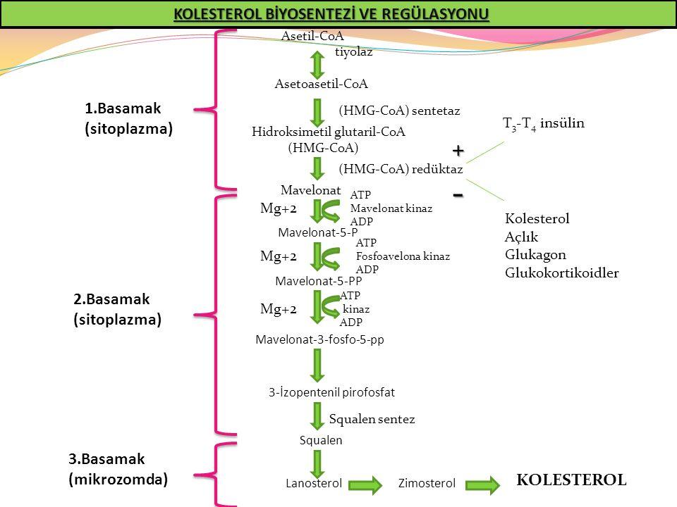 Asetoasetil-CoA Hidroksimetil glutaril-CoA (HMG-CoA) Mavelonat Mavelonat-5-P Mavelonat-5-PP Mavelonat-3-fosfo-5-pp 3-İzopentenil pirofosfat Squalen La