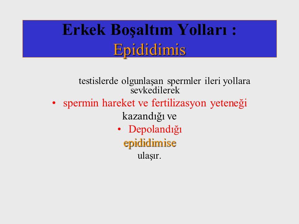 Epididimis Erkek Boşaltım Yolları : Epididimis testislerde olgunlaşan spermler ileri yollara sevkedilerek spermin hareket ve fertilizasyon yeteneği ka