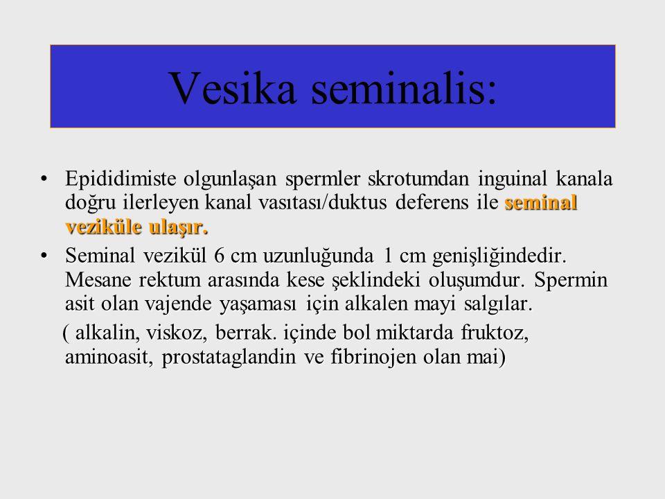 Vesika seminalis: seminal veziküle ulaşır.Epididimiste olgunlaşan spermler skrotumdan inguinal kanala doğru ilerleyen kanal vasıtası/duktus deferens i
